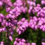 Bell heather. Photo by Richard Perchard