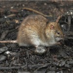Brown rat. Photo by Mick Dryden