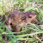 Common toad. Photo by John Wilkinson