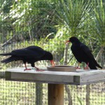 Choughs in display aviary at Durrell. Photo by Liz Corry