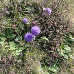 Devil's bit scabious at Grosnez. Photo by Charles David
