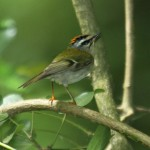 Firecrest in St Catherine's Woods May 2011. Photo by Mick Dryden