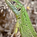 Green lizard. Photo by Dan Lay