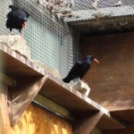 Breeding pair of choughs.  Photo by Liz Corry