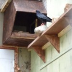 Chough and nest-box. Photo by Liz Corry