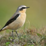 Northern wheatear. Photo by Paul Marshall