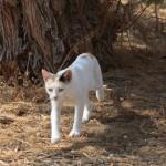 Feral cat. Photo by Hilary Cornford