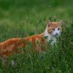 Feral cat. Photo by Stephen Piggott
