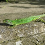 Green lizard. Photo by Miranda Collett