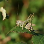 Grey bush-cricket. Photo by Richard Perchard