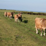 Jersey cows at Les Landes, May 2006. Photo by HGYoung