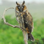 Long-eared owl. Photo by Romano da Costa