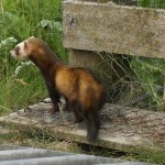 Polecat ferret. Photo by Steve Duffield www.western-isles-wildlife.com