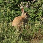 Rabbit. Photo by Mick Dryden