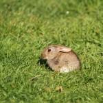 Rabbit. Photo by Miranda Collett