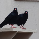 Choughs in display aviary. Photo by Liz Corry