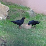 Chough at food bowl. Photo by Liz Corry