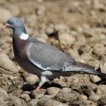 Woodpigeon. Photo by Mick Dryden
