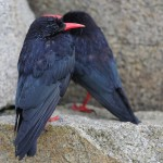 Red-billed chough at Ile Grande, August 2012. Photo by Armel Deniau