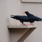 Red-billed choughs in Durrell display aviary. Photo by Liz Corry