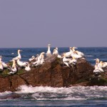 Gannets at Ortac, Alderney. Photo by Alderney Wildlife Trust