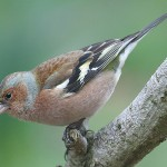 Chaffinch. Photo by Mick Dryden