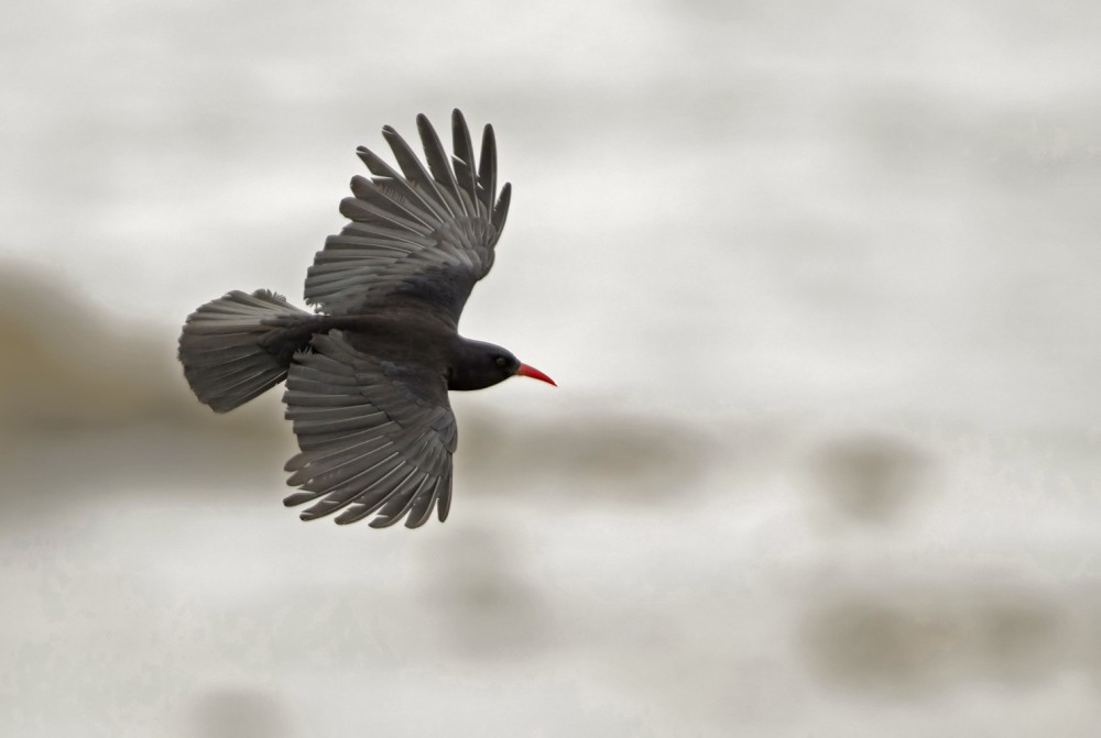 Red-billed chough. Photo by Bob Sharples www.bobsharplesphotography.co.uk