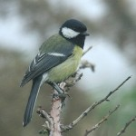 Great tit. Photo by Mick Dryden