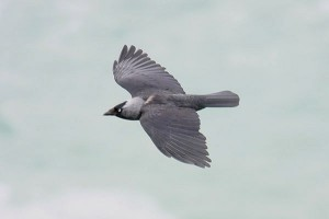 Jackdaw. Photo by Mick Dryden
