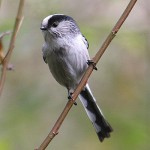 Long-tailed tit. Photo by Mick Dryden