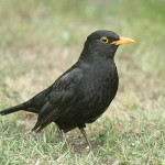 Male blackbird. Photo by Mick Dryden