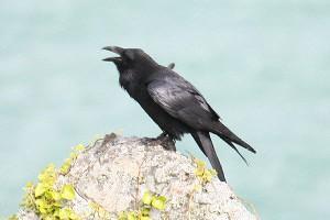 Raven. Photo by Mick Dryden