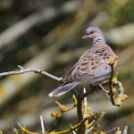 Turtle dove in St Ouen's Bay. Photo by Miranda Collett