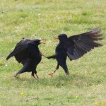 Choughs at Beacon Cove, Cornwall 2012. Photo by Colin Seager www.stcolumbphotos.com