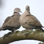 Collared dove. Photo by Mick Dryden