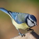 Blue tit. Photo by Regis Perdriat