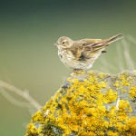 Meadow pipit. Photo by Paul Marshall