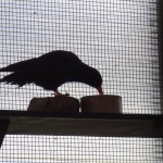A chough settles in at the release aviary. March 2013. Photo by Liz Corry