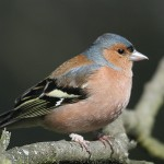 Chaffinch (note pox lesions on leg). Photo by Mick Dryden
