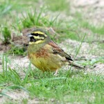 Cirl bunting, Jersey 2012. Photo by Romano da Costa