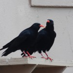 Red-billed chough at Durrell Wildlife Park. Photo by Liz Corry