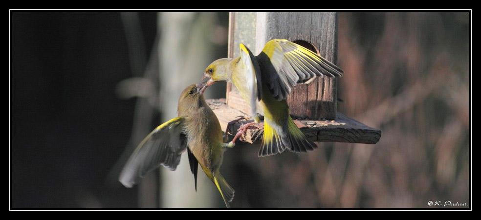 Greenfinch. Photo by Regis Perdriat