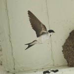 House martin. Photo by Mick Dryden