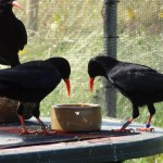 Choughs responding to the 'lunchtime' whistle call and flying to only the target areas. Photo by Liz Corry