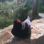 George sunbathing in display aviary. Photo by Liz Corry