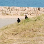 Choughs at Ronez Point. Photo by Liz Corry