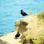 Choughs on Jersey's coast again. Photo by Colin Stevenson