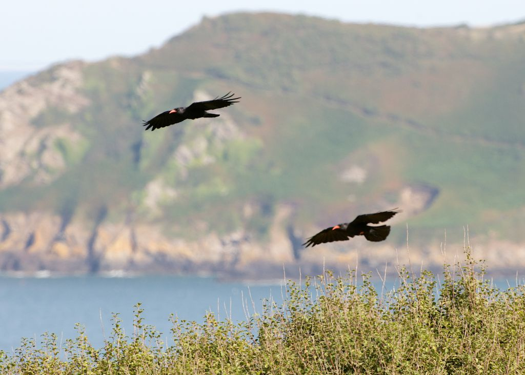 Choughs return to Jersey. 1st September 2013. Photo by Colin Stevenson