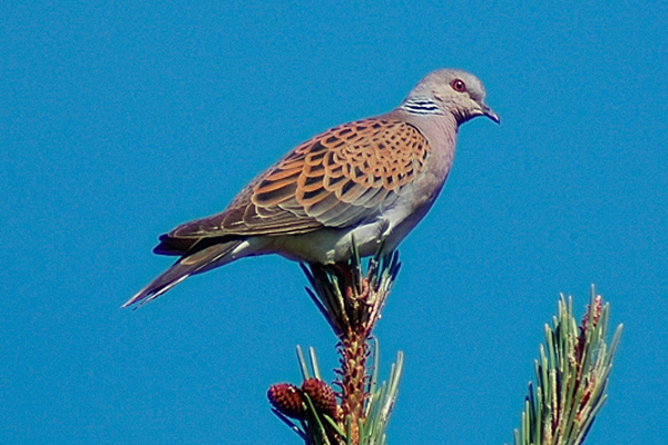 Turtle dove. Photo by Romano da Costa