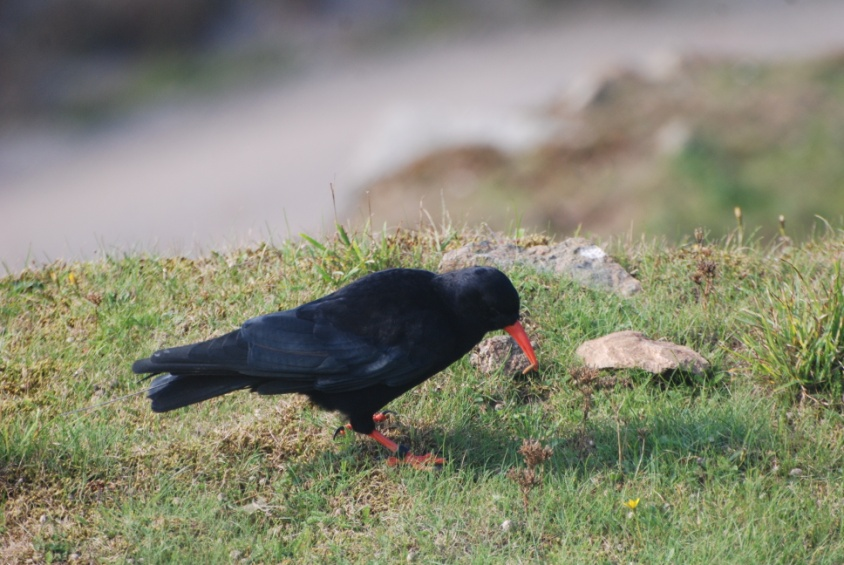 Chough eating mealworms thrown in by team. Photo by Liz Corry